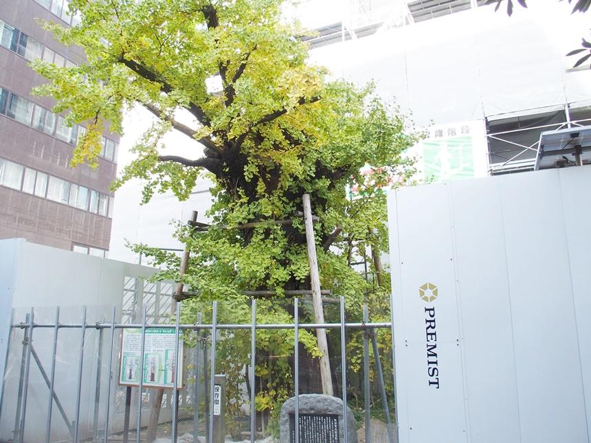飯田屋敷大銀杏2