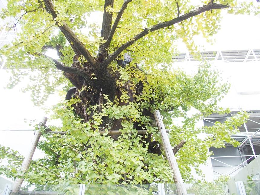 飯田屋敷大銀杏4