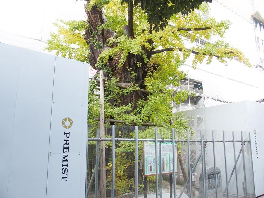 飯田屋敷大銀杏7